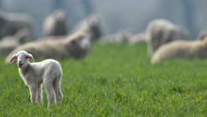 Des agneaux - Image d'illustration