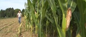 La sécheresse de cet été ravage les récoltes de maïs