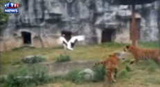 combat tigres grue chine