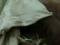 Après 29 ans de captivité, Sandra l'orang-outan, bientôt en liberté ?