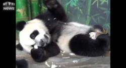 Chine : les triplés pandas fêtent leur premier anniversaire, retour sur leurs naissances