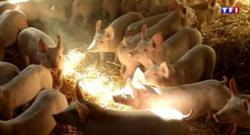 porc - prix - agriculture -minute pour comprendre