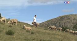Le 13 heures du 21 août 2014 : Les retours d'estives s'acc�rent en Loz� �ause des loups - 1163.9333443603516