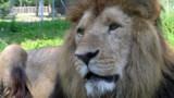 Grande-Bretagne : la police met fin à la chasse au lion