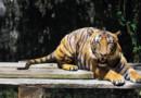 Archives : un tigre de Malaisie