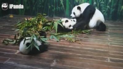 Chine : les triplés pandas fêtent leur un an (27/07)