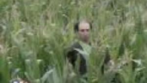 Maïs : doute autour des OGM