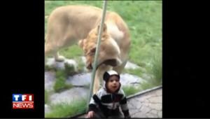 Le lion affamé qui voulait croquer un bébé