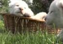 Fourrure immaculée et regard bleu azur, ces quatres lionceaux font une première sortie remarquée