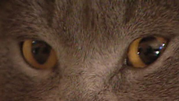 Chat matou félidés félin grippe aviaire