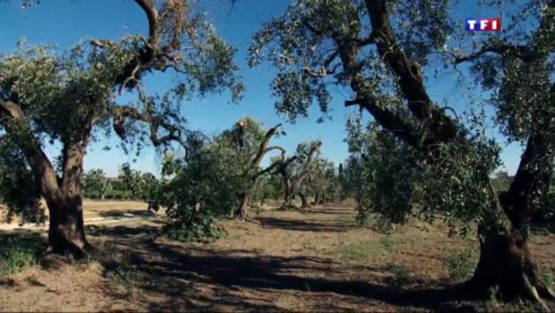 Le 20 heures du 23 juillet 2015 : En Italie, la bactérie tueuse d'oliviers désole les exploitants - 1148