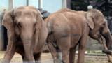 Eléphantes de Lyon menacées d'euthanasie : sursis en vue