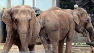 Baby et Népal, les deux éléphantes du cirque Pinder/Janvier 2013
