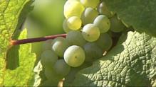raisin vignoble vigne