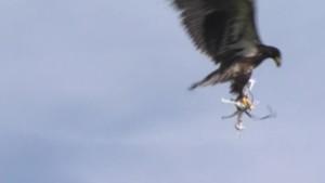 L'aigle chasseur de drones (30/05)
