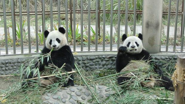 Les pandats géants Yuan Zi et Huan Huan sont prêtés pour dix ans à la France
