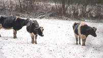 Les vaches ont les pattes dans la neige en Normandie.