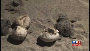 Turquie : naissance sous la lune de bébés tortues