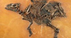 Découverte des restes d'un foetus d'équidé vieux de 48 millions d'années
