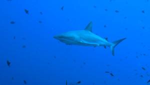 Un requin bleu.