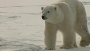 TF1/LCI - Un ours polaire