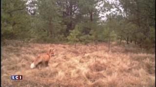 Élans, sangliers, loups... Trente ans après Tchernobyl, la faune reprend ses droits