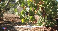 Sécheresse : la production française de vin en baisse de 10%