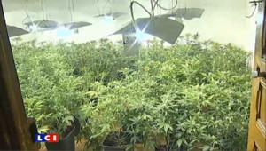Une plantation de cannabis (archives).