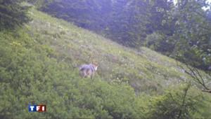 Les Vosges ont peur du loup