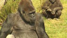Gorille de la vallée des singes dans la Vienne