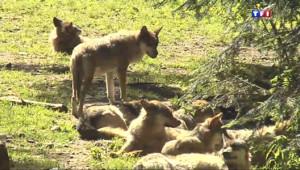 Le 13 heures du 8 juillet 2014 : Les loups du Mercantour - 1845.8061754760743