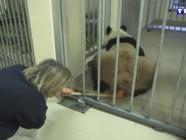 Dans les coulisses du zoo de Beauval : une femelle panda se soumet à un test d'ovulation