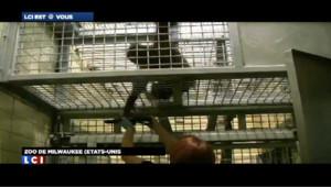 Le personnel du zoo de Milwaukee aux Etats-Unis a trouvé la parade pour empêcher la déprime de leurs grands singes : un Ipad leur a été donné pour leur enrichissement personnel.