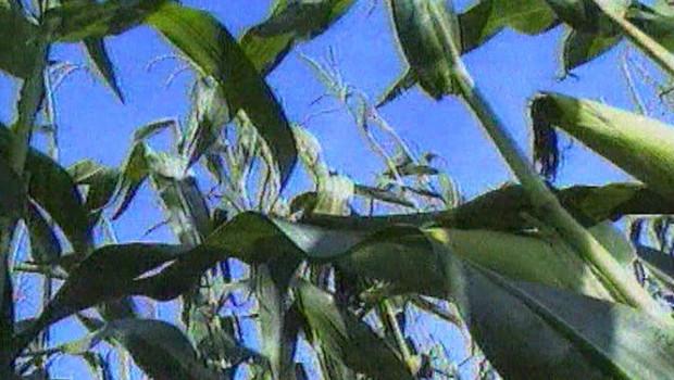 OGM maïs