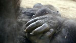 Jessica, un gorille femelle a donné naissance à son cinquième bébé. Une très bonne nouvelle pour la continuité de l'espèce