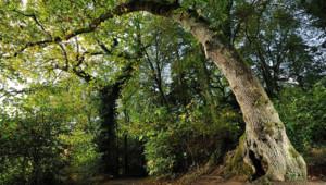 """Ce chêne pédonculé du Finistère vieux de 200 ans et surnommé """"arbre girafe"""", à cause de sa silhouette, a été élu jeudi """"arbre de l'année"""""""