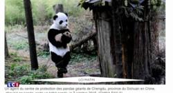 Voici le meilleur job du monde : câlineur de pandas !