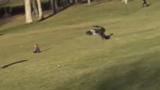Un enfant attaqué par un aigle : une vidéo trop incroyable ?