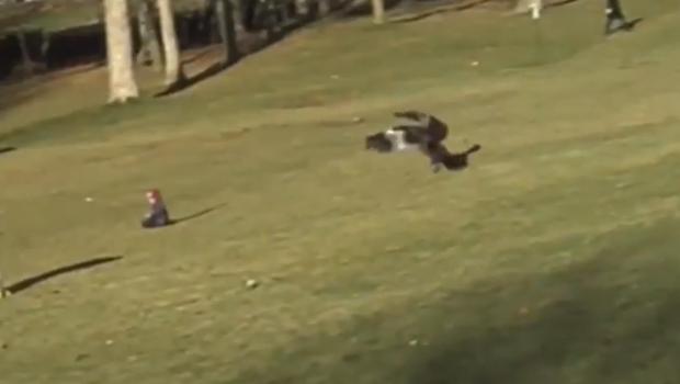 Un aigle de 2 mètres d'envergure qui soulève un enfant dans un parc de Montréal : trop incroyable pour être vrai ?