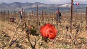 Le 13 heures du 3 janvier 2014 : De d�mbre �ars, les saisonniers taillent les vignes - 1521.576