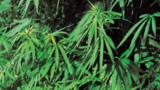Saisie record de cannabis dans l'Aube : deux suspects déférés à Lille