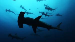 TF1-LCI requins-marteaux