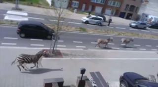 Des zèbres gambadent en liberté dans les rues de Bruxelles