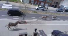 Des zèbres échappés d'un ranch se sont déplacés en liberté dans les rues de Bruxelles, le 17 avril 2015.