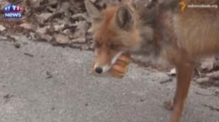 Pour se nourrir, ce renard a trouvé la technique : se faire des sandwichs