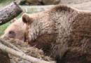Un ours du Parc'Ours à Borce (Image d'illustration)