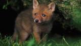 Zouzou le renardeau doit quitter sa famille d'adoption