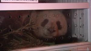 Un des deux pandas prêtés par la Chine pour dix ans à la France dimanche à l'aéroport de Roissy