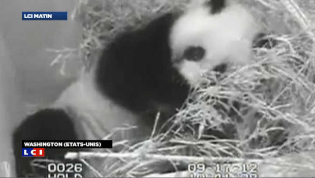 VIDEO : Naissance rare d'un panda géant au zoo de Washington