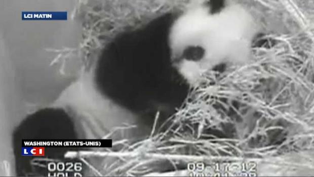 VIDEO : Naissance rare d'un panda géant au zoo de Washington